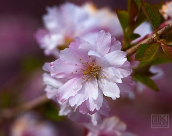 Cherry blossom art, Pink flowers, Spring Impressions, Sakura tree, Bedroom wall art, Engagement gift, Nature photography, Flower print