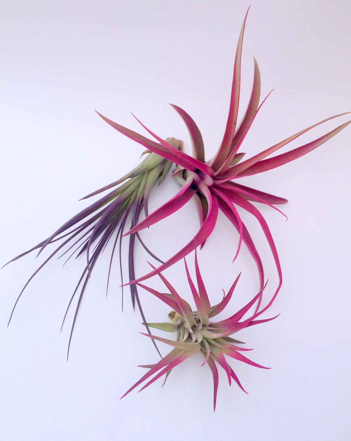air plant fun pack mix of 3 plants. Black Bedroom Furniture Sets. Home Design Ideas
