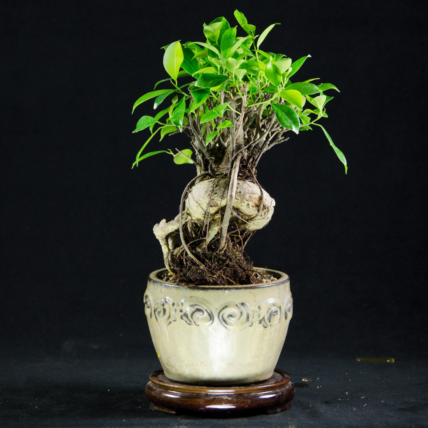 ginseng ficus shohin bonsai tree ficus microcarpa by calibonsai. Black Bedroom Furniture Sets. Home Design Ideas