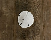 "Beach Wedding White Sand Dollar 3.5"" inch- Real Genuine Bulk Seashell Decoration and Escort Favor Place Setting Crafting"