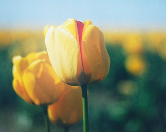 Tulip Photograph, Yellow and Green Wall Decor, Foyer Picture, Oversized Art Print, Spring Flower Photo, Tulip Wall Art