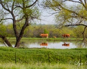 Texas Colors - Wildflowers, fine art print, landscape photography, Texas, Hill Country, western, spring, cows, cattle