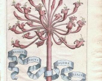 Antique 1st Edition Botanical Engraving, Giovanni Ferrari, Narcissus Indicus Flore Liliaceo Sphaericus, 1638