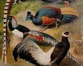 1900 Antique print of COLORFUL PHEASANTS, different species. Exotic Birds. Tropical Birds. Ornithology. 117 years old lithograph