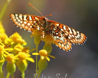 Checkerspot Butterfly Photography, yellow flowers, nature photography, butterfly gifts, wall art print