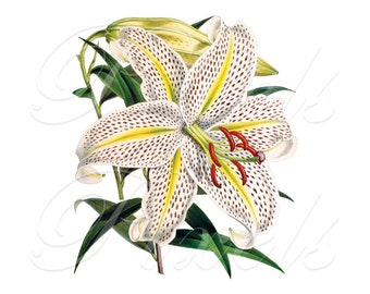 LILY Instant Download Wedding Clipart Digital Downloads, white lily, tiger lily, yellow lily no.197