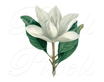 MAGNOLIA Instant Download, white magnolia flowers, wedding clipart, botanical illustration 408
