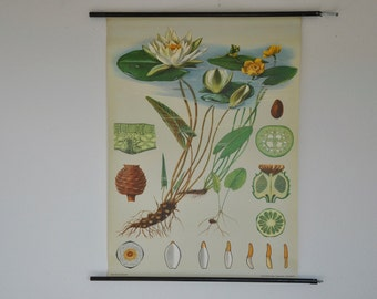Original Pull Down School Chart. Water Lily. Mid Century Botanical Print.  Jung Koch Quentell. Germany. Pull down chart. 1092