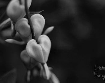 B&W Bleeding Heart Fine Art Photography Print, Canvas Print, spring flowers, spring blooms