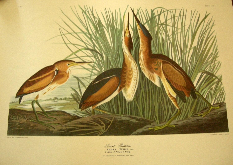 1950's Unframed Audubon Havell Least Bittern Print