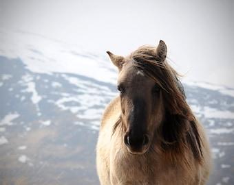 Horse photography, equine art, nature photo, buckskin horse, scottish highland pony, choice of sizes