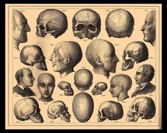 Skulls, anatomy, skeleton, Fridge Magnet vintage Horror image