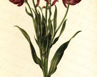 Antique Original Colored Botanical  Lithograph of Tulips-Tulipe Pluriflora Doble Roi Des Bleus  - Flora- Flower From  REVUE HORTICOLE