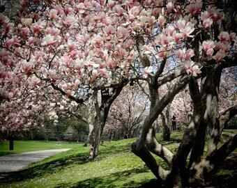Magnolia Season - Pink Magnolia  - Magnolia Garden - Blooming Magnolia - Spring Flower - Magnolia Trees - Wall Decor - Landscape photograph
