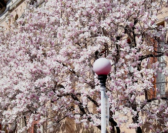 Photo Print - This Is Boston, South End, Boston, Massachusetts, Pink Magnolias, Spring in Boston