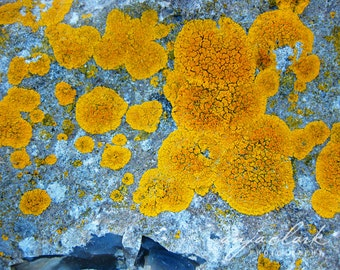 Nature Photography - Lichen, Rock, Yellow Blue Gray, Photograph, Wall Art, Botanical, Abstract