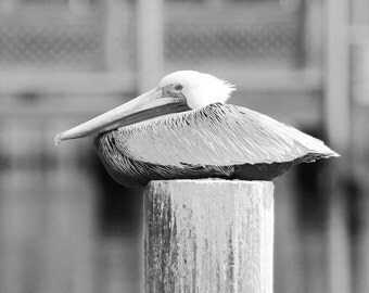Pelican Photo Print Nature Photography Black And White Art Brown Pelican Picture