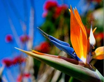 Bird of Paradise Flower Fine Art Photograph Print