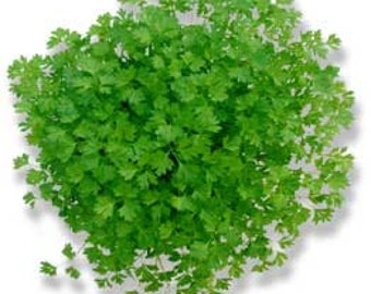 CHERVIL,  Culinary Herb seeds