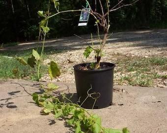 Red Flame Seedless Grape 2 Gal. Vine Plant Vines Gardens Buy Healthy Grapes Plants Garden Vineyard Grapes Vineyards Natural Antioxidants
