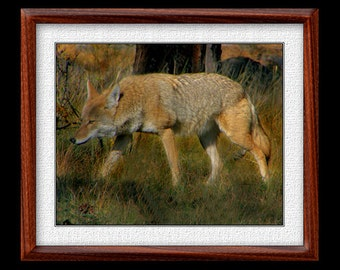 Coyote Print - 8x10 or 11x14 Coyote Photograph - Wildlife Photograph - Wildlife Print - Cayote Art (P47)