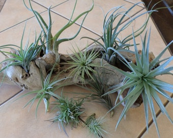 Set of Ten Beautiful Air Plants