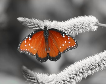 "queen butterfly photo: black, white, and a pop of orange photo 11x14"" butterfly art"