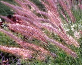 Fountain Grass Seeds - Rueppelii,,Rose Fountain Grass,One of the most popular ornamental grasses