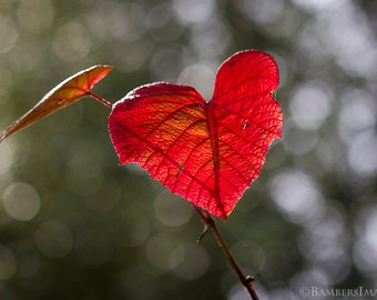 "Red Heart Shaped Leaf.  Valentine, Love, Wall Art, 5"" x 7""  or A4 (210mm x 297mm) Fine Art Photography Print,"