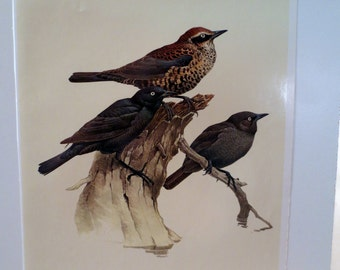 Vintage Rusty Blackbird 1960s Frameable Picture, Wall  Art Print of Bird Watercolor by  J.F. Lansdowne Item 434