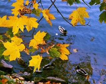 Fall Colors  - Fine Art Photography - autumn photo print 8x8, autumn photography, autumn decor, fall photography, duck photo, maple leaves