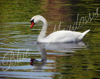 Swan, white swan, swan in lake, reflection, mute swan, wildlife, fowl