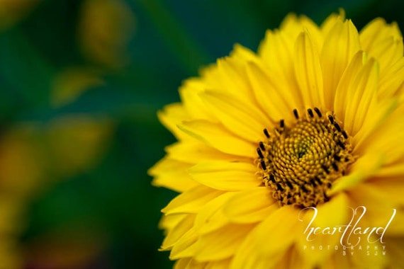 Yellow Flower Photography, Daisy Wall Art, Macro Photography Prints Fine Art Prints For Girls Room 8x10 Print Yellow Flowers 11x14 Art Print