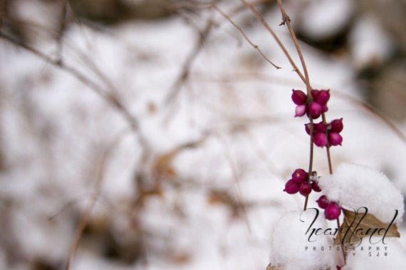 Large Sized Print, Pink Winter Berries, Snow Photography, Winter Pictures, Nature Print, Fine Art Photograph, 24x36 20x30 16x24, 11x17 12x18