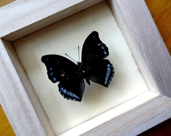 Real Charaxes Laodice Framed - Taxidermy - Home Decoration - Collectibles