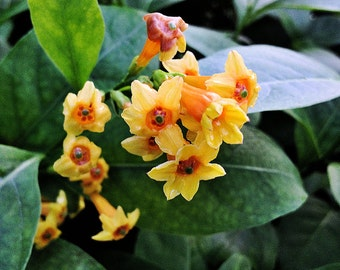 Fragrant Orange Zest or Peel Cestrum Perinneal Plant Attracts Hummingbirds 4 Inch Pot