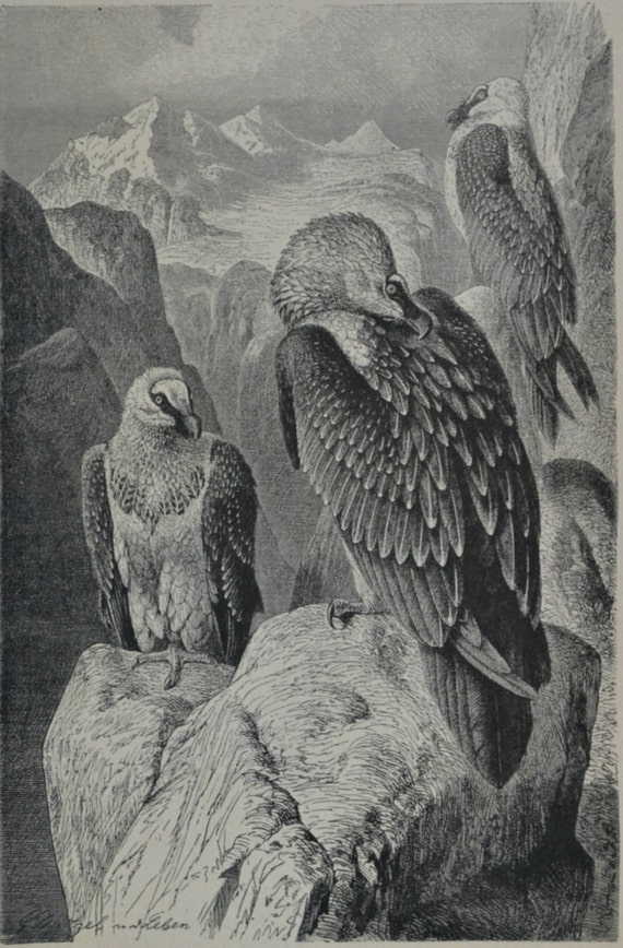 The bearded vulture print. Vultures engraving. Antique illustration 124 years old. 1890 lithograph. 9 x 12'3 inches.