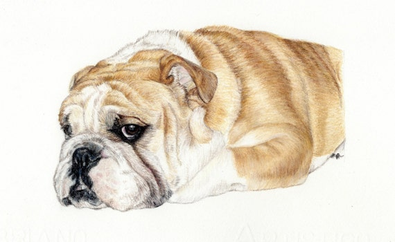 items similar to dog portrait colored pencil dog drawing english bulldog dog illustration custom drawing of my pet fine art dog graphite drawing pet art