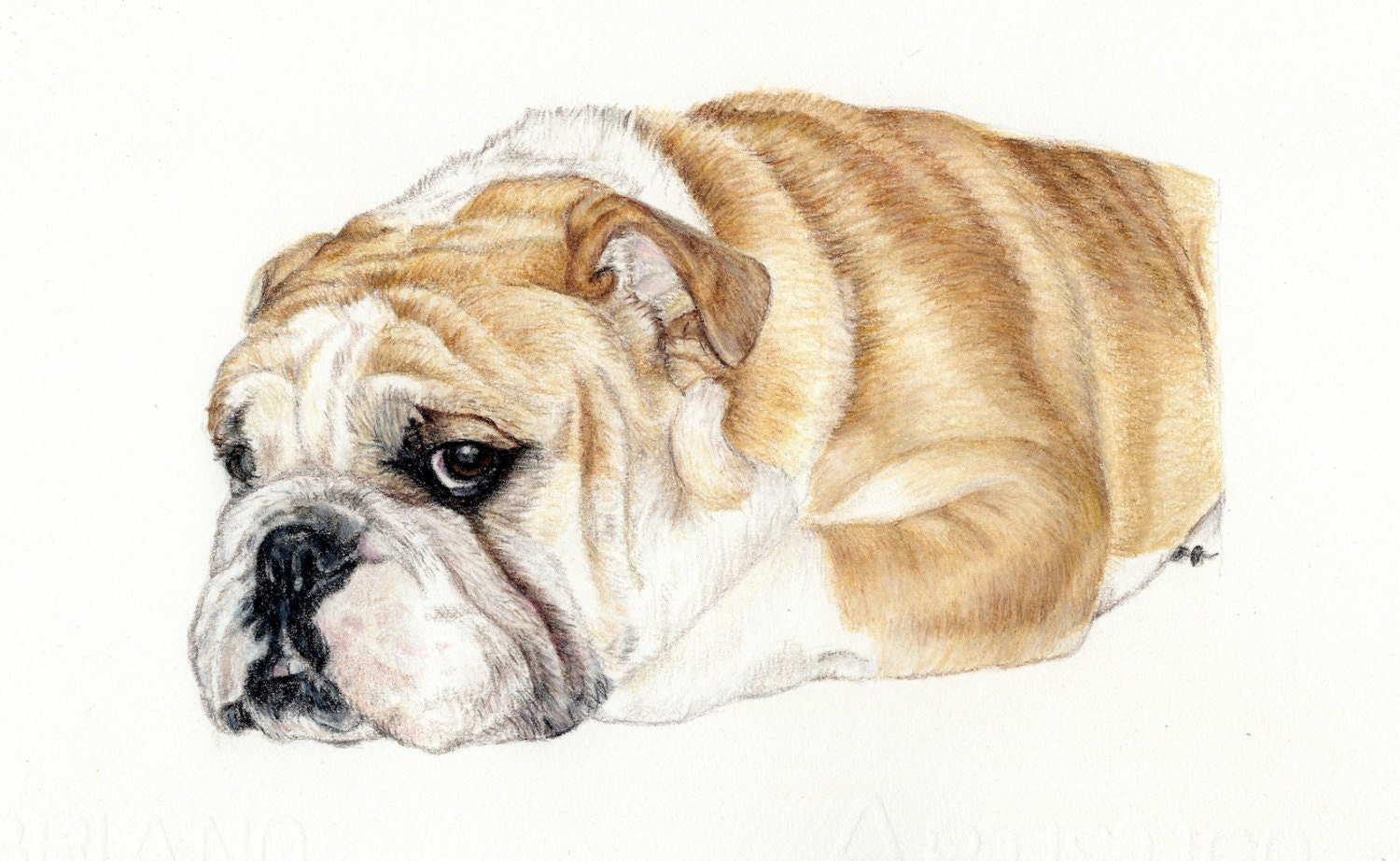 English Bulldog Puppy Drawing | www.imgkid.com - The Image ...