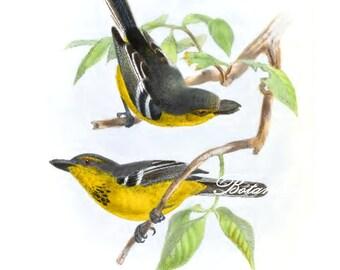 "Bird Print. Black-breasted Boatbill. 8x10"" 11x14"""