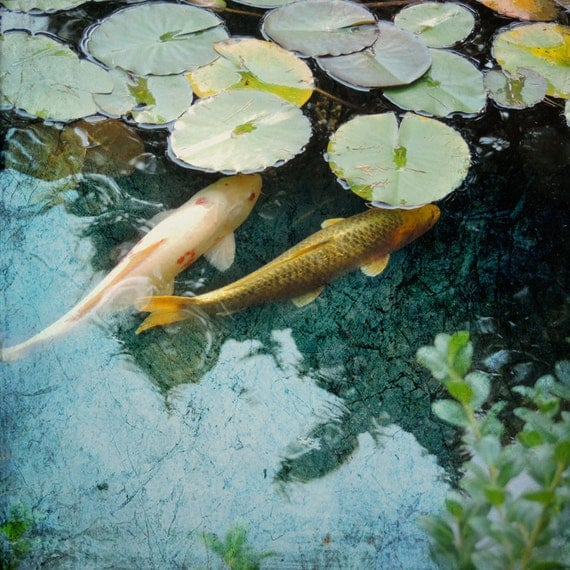 Fine art koi photography goldfish lily pad pond photograph for Goldfish pond depth