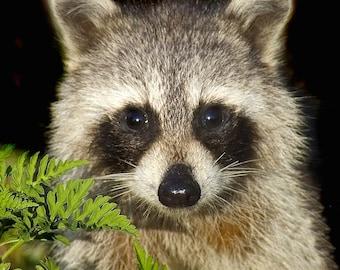 Raccoon,Nature Photography,Fine Art Photographic Print,Wildlife,Mammal - DSC9167