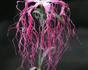 Dianthus Spooky Mix Flower Seeds (Dianthus Superbus) 100+Seeds