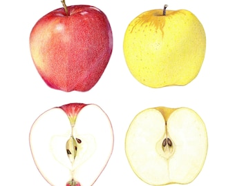 Apples - Archival print of my colored pencil drawing