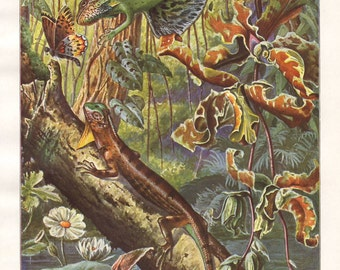 Flying dragon original 1922 zoology print - Reptile, lizard - 93 years old German antique lithograph illustration (A295)