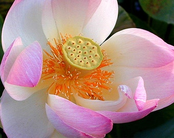 Flower Photography,Picture of Flower,Photograph of Pink Lotus Flower,Zen Lotus Flower Photo,Pink Flower Photograph,Lotus Flower Photography