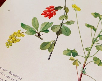 Vintage Antique Botanical Magazine Plate Botanical Print National Geographic 1920s Eaton Print Floral Botanical Art