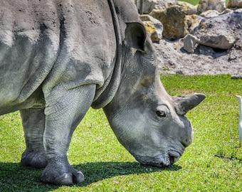 Rhinoceros and Bird Fine Art Print - Nature, Botanical, Wildlife, Garden, Nursery Decor, Home Decor, Baby, Zen, Gift