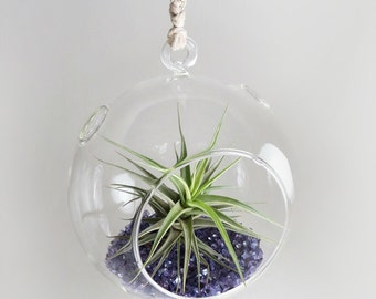SALE! Air Plant in the Purple Shimmering Hanging Dome (Blooming!)