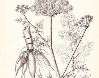 1894 Botany Print - Hemlock Water Dropwort - Vintage Home Decor Plant Art Illustration Great for Framing 100 Years Old